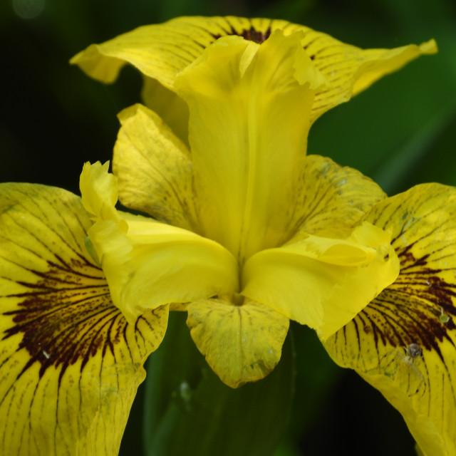"""Yellow and Brown Iris"" stock image"