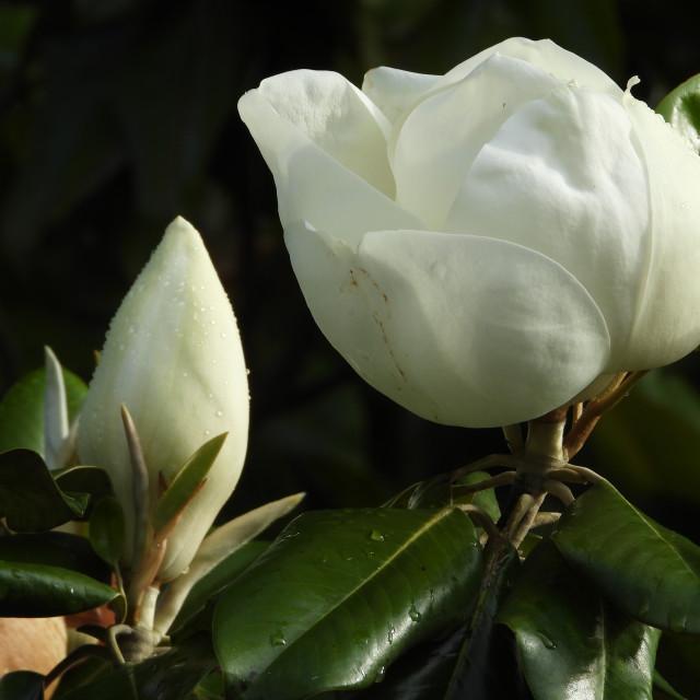 """""""Magnolias"""" stock image"""