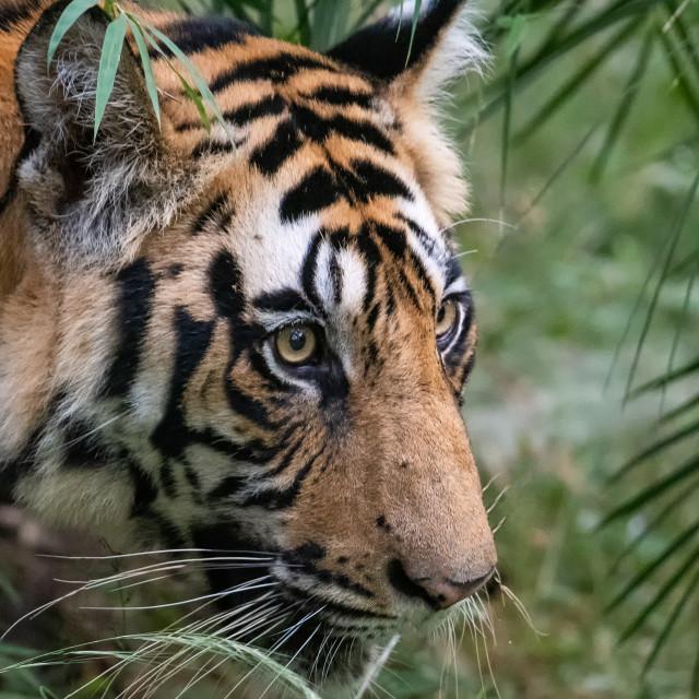 """Wild Tiger"" stock image"
