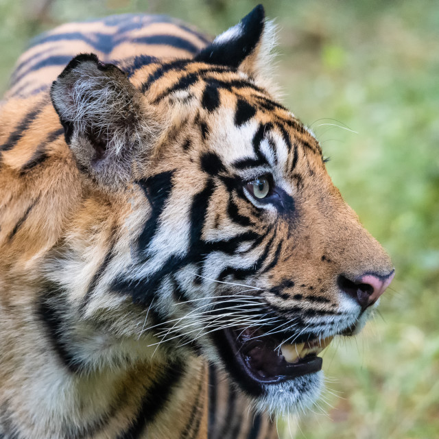 """""""Tiger in the Wild India"""" stock image"""