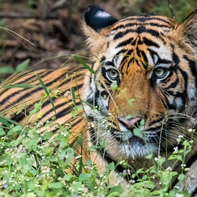 """""""Tiger in the Wild"""" stock image"""