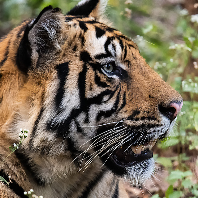 """""""Indian Tiger in the Wild"""" stock image"""