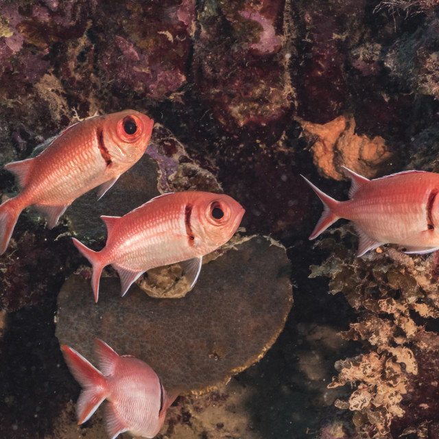 """""""Close up of Blackbar Soldierfish in coral reef of the Caribbean Sea / Curacao"""" stock image"""