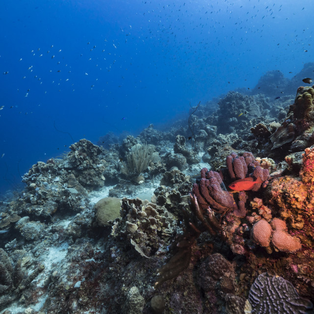 """""""Seascape in turquoise water of coral reef in Caribbean Sea / Curacao with Blackbar Soldierfish, coral and sponge"""" stock image"""