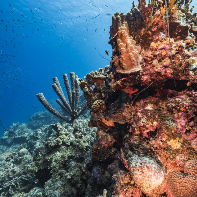 """""""Seascape in turquoise water of coral reef in Caribbean Sea / Curacao with fish, coral and Stove-Pipe Sponge"""" stock image"""