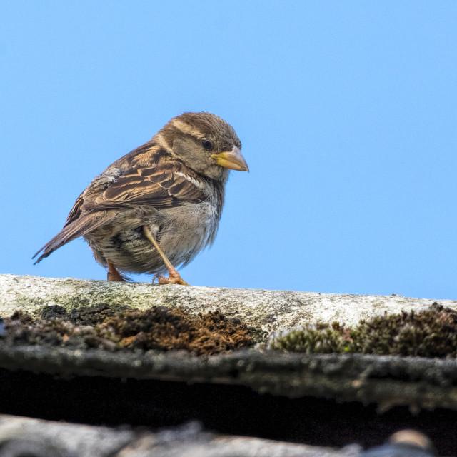 """Sparrow juvenile"" stock image"