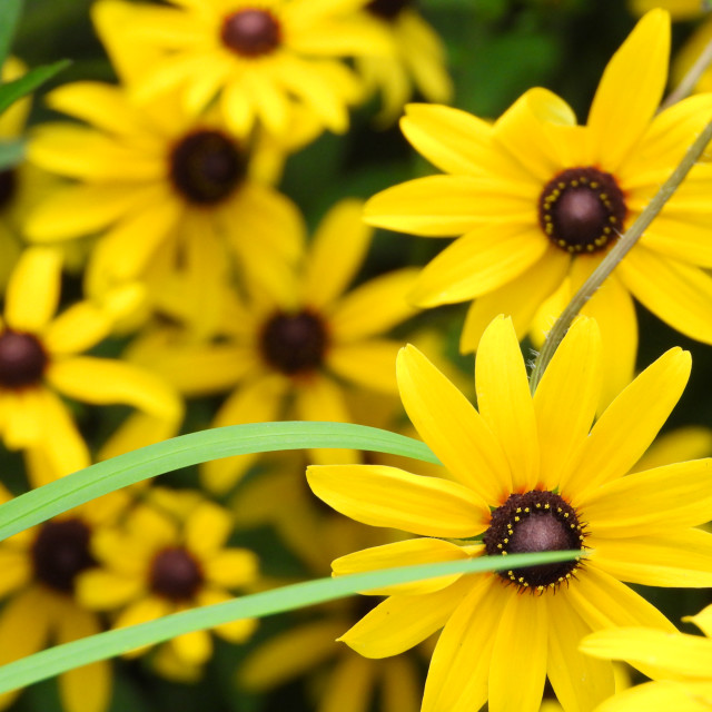 """Yellow Daises"" stock image"