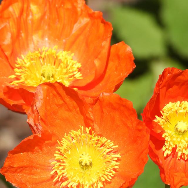 """""""Orange-colored Iceland Poppy"""" stock image"""