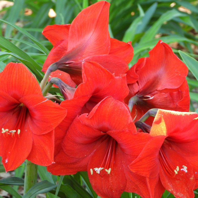 """""""Red Lilies"""" stock image"""