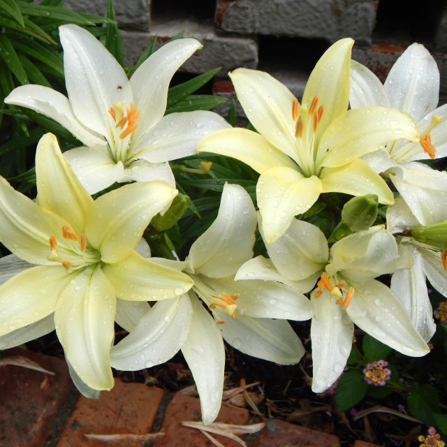 """""""White Lilies in Garden"""" stock image"""