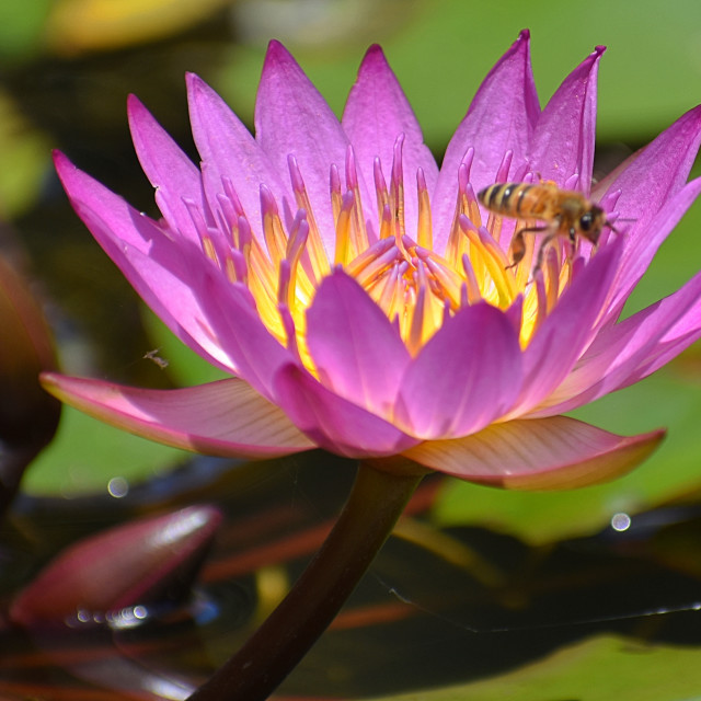 """""""Magenta Lotus with Bee"""" stock image"""