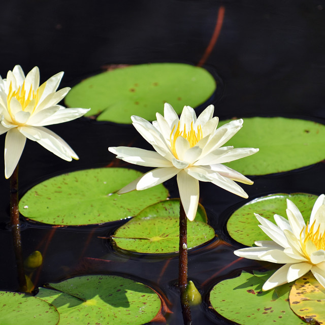 """White Waterlilies - Image 7"" stock image"