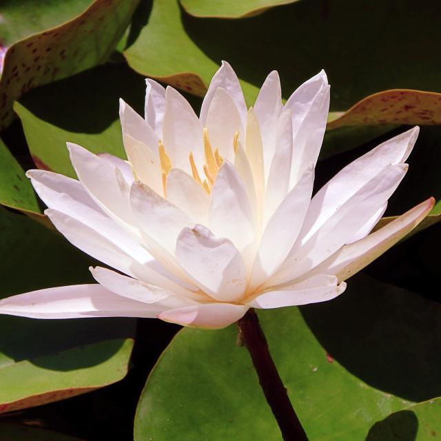 """""""Bright Pink Lotus"""" stock image"""