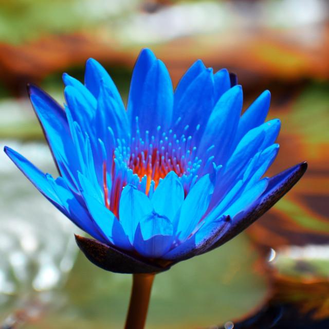 """Blue Lotus"" stock image"