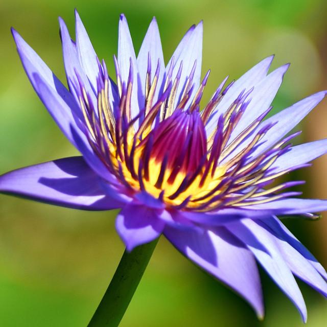 """""""Violet Lotus"""" stock image"""