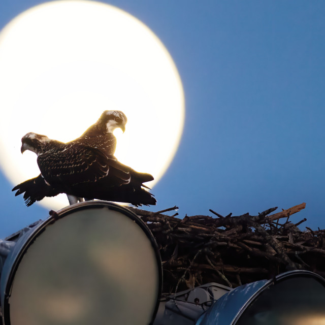 """Lakeville Ospreys, 2"" stock image"