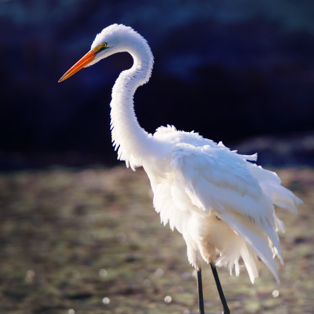 """""""Great Egret looking beautiful even when they are having a bad hair day 😄"""" stock image"""