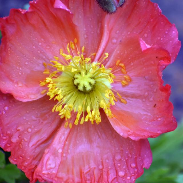 """Rain-kissed Iceland Poppy"" stock image"