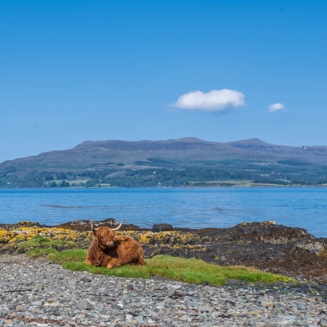 """""""Highland cow relaxing in summer sun"""" stock image"""