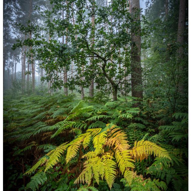 """""""Misty Forest Sunrise"""" stock image"""