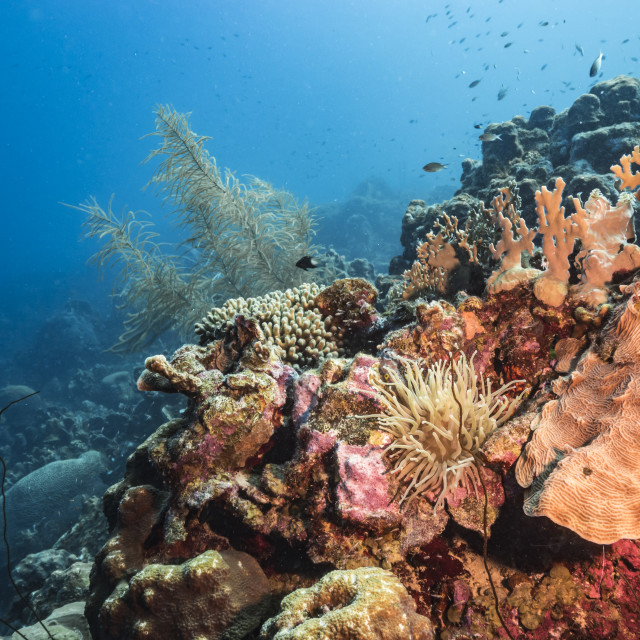 """""""Seascape in turquoise water of coral reef in Caribbean Sea / Curacao with Sea Anemone fish, coral and sponge"""" stock image"""