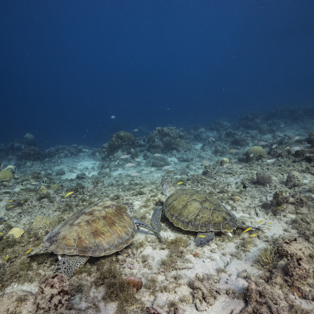 """""""Green Sea Turtle rest in coral reef of Caribbean Sea / Curacao"""" stock image"""