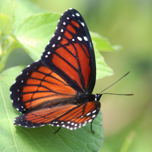 """""""Viceroy Butterfly"""" stock image"""