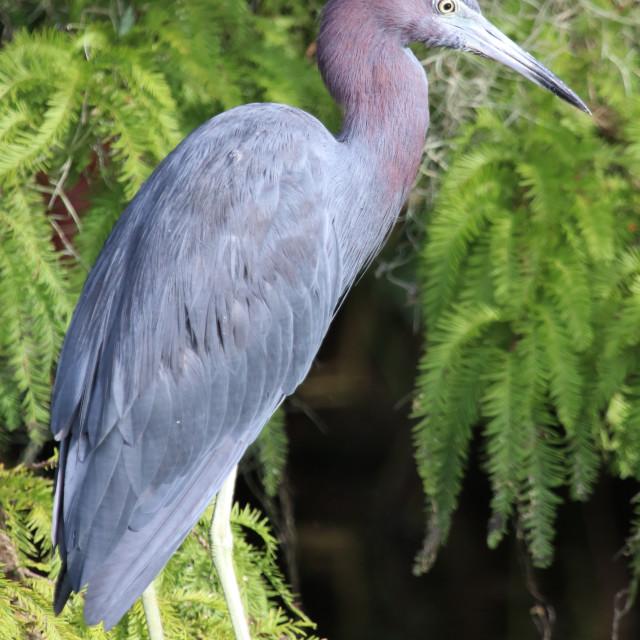 """Little Blue heron"" stock image"
