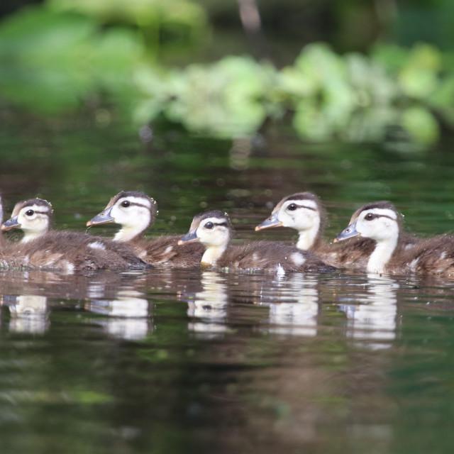 """""""Baby Wood Ducks"""" stock image"""