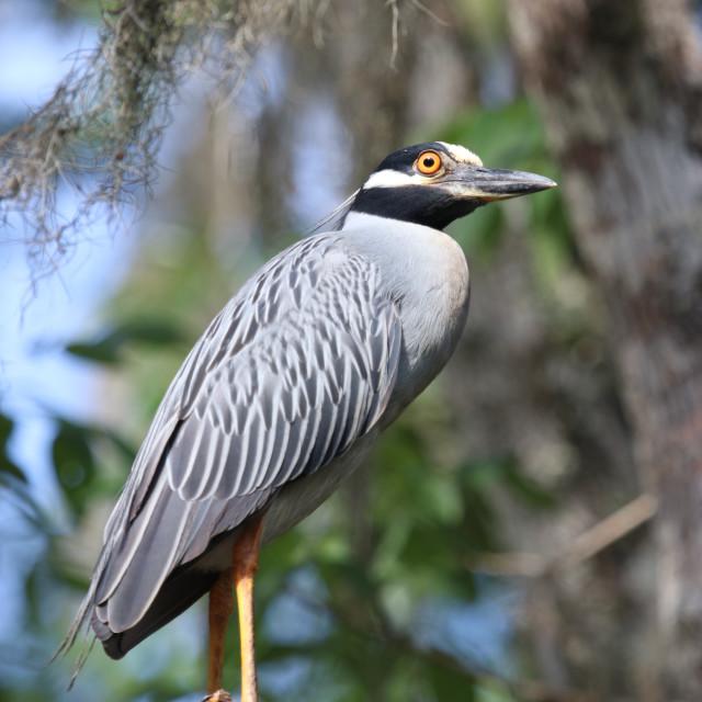 """Yellow Crowned Night Heron"" stock image"