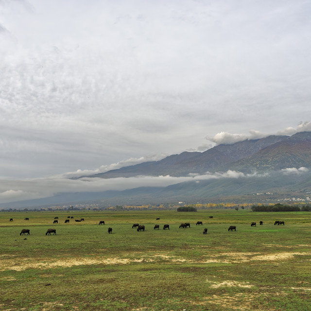 """Mount Belles towering above Lake Kerkini, as a buffalo herd is feeding"" stock image"