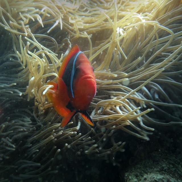 """""""Tomato ClownFish"""" stock image"""