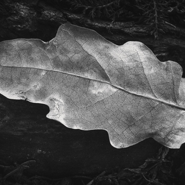 """Withered Leaf III"" stock image"