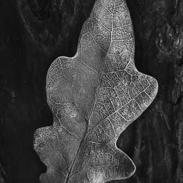 """""""Withered Leaf"""" stock image"""