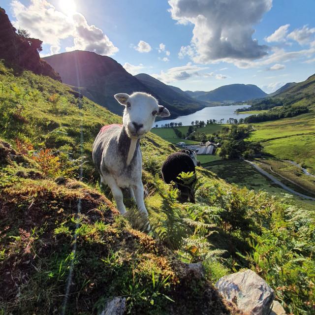 """Herdwick Sheep - Buttermere"" stock image"