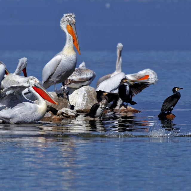 """DALMATIAN PELICANS ON LAKE KERKINI, GREECE"" stock image"
