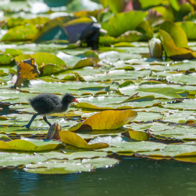 """moorhen chick on a lily pond"" stock image"
