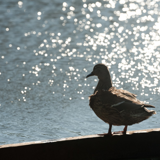 """duck silhouette against water"" stock image"