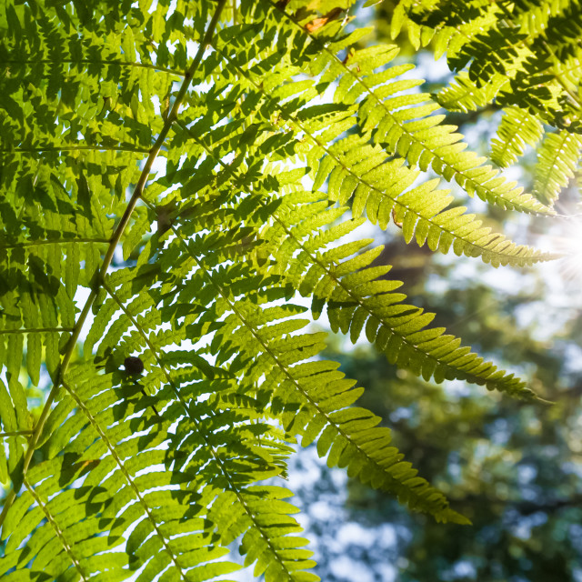 """fern leaf sunset"" stock image"