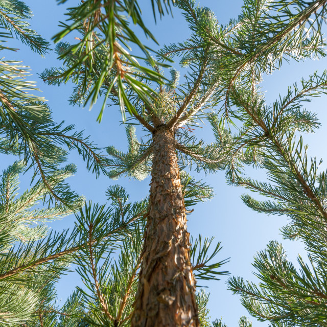 """pine trees climbing into a blue sky"" stock image"