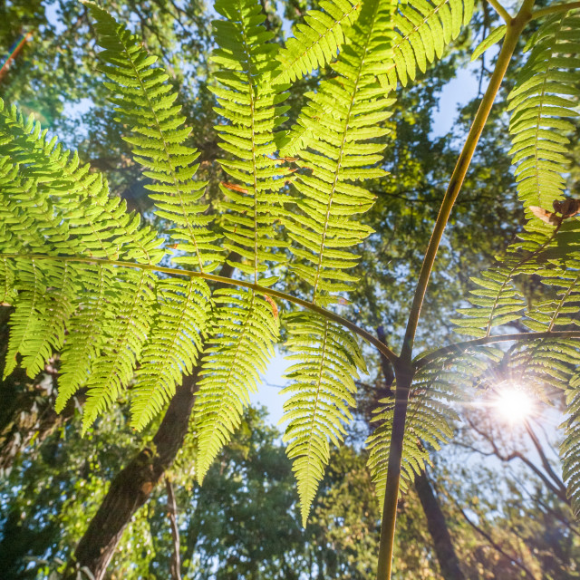 """sunlight through ferns"" stock image"