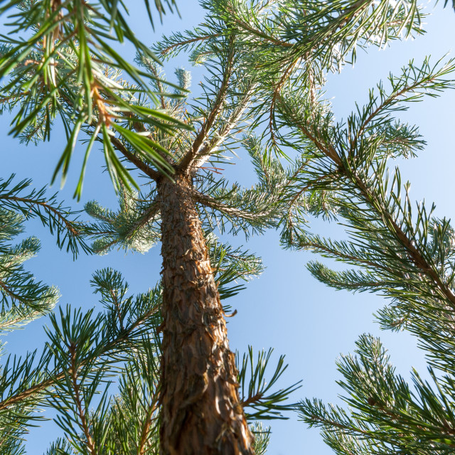 """pine trees against a blue sky"" stock image"