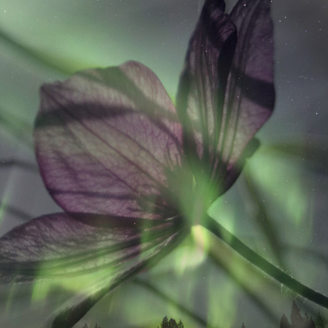 """""""Northern light Clematis"""" stock image"""