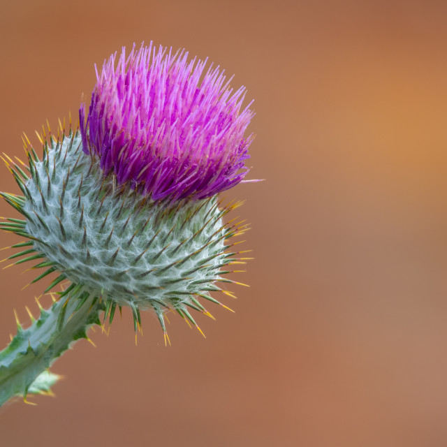 """Isolate Purple Thistle"" stock image"