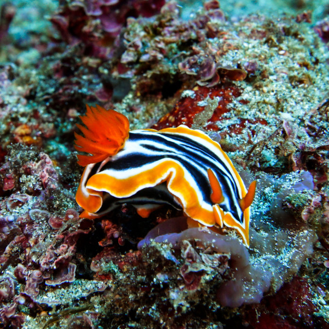 """Annes Nudibranch, Nusa Penida"" stock image"
