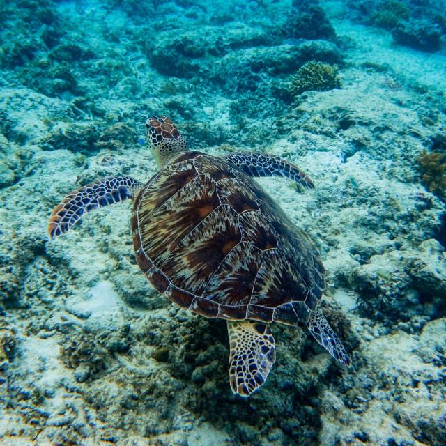 """Green turtle swimming over a reef, Gili Meno"" stock image"