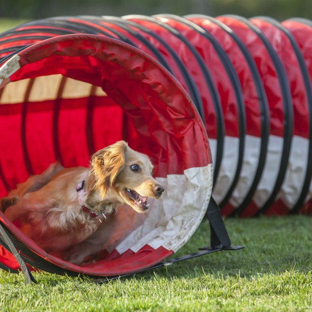 """Dog Agility"" stock image"
