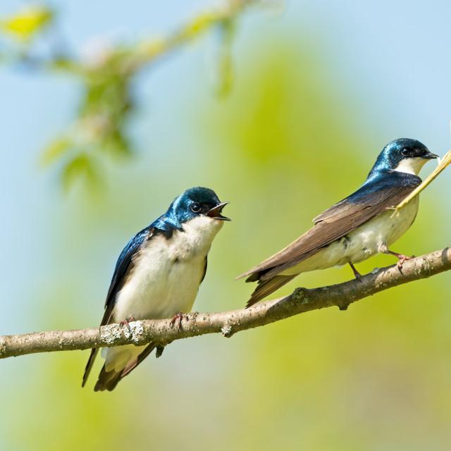 """Nesting Swallows"" stock image"