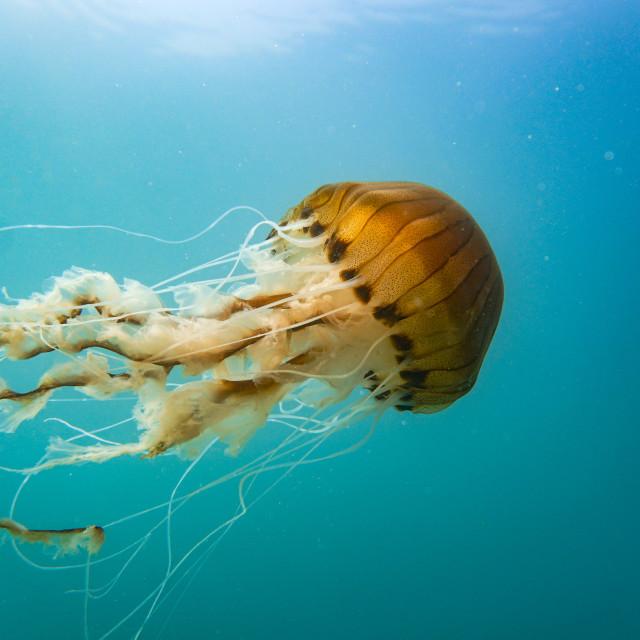 """Compass Jellyfish swimming midwater the Llŷn Peninsula"" stock image"