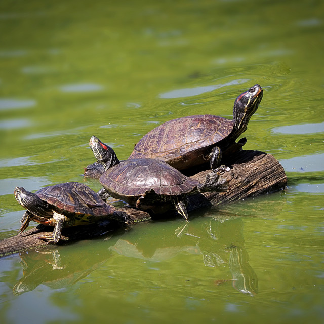 """Red Eared Sliders"" stock image"